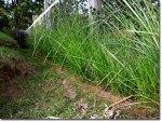 Post Vetiver una hierba revolucionaria